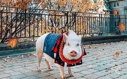 Cảm giác ghen tị là khi bạn phải đi làm vào thứ 2 còn chú lợn này lại được du lịch vòng quanh thế giới, đã vậy còn có hẳn 100k người theo dõi trên MXH