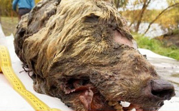 Phát hiện đầu sói còn nguyên não bộ cách đây 4.000 năm