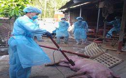 Phát hiện ổ dịch tả lợn Châu Phi đầu tiên tại TPHCM
