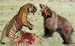Đại chiến giữa hổ và gấu nâu