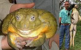 Hoảng hốt với loài ếch nặng gần chục cân và dài gần mét