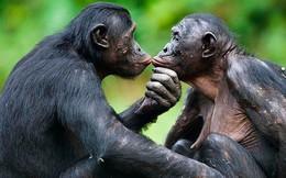 Loài vượn xứng danh bà mẹ tuyệt vời nhất tự nhiên: Tự tay dắt con đi hỏi vợ, lại đứng canh để chúng 'yêu đương' cho tử tế