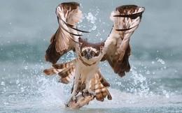 Thế giới động vật: Khoảnh khắc săn mồi ấn tượng của chim ưng