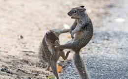 Thế giới động vật: Sóc vật lộn, ra đòn như những đấu sĩ thực thụ