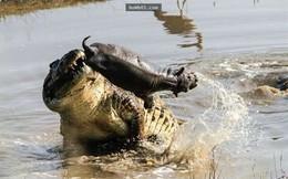 Thế giới động vật: Săn hà mã con, cá sấu trả giá bằng cả tính mạng