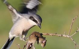 """Video: """"Chim đồ tể"""" chuyên găm con mồi vào gai nhọn"""