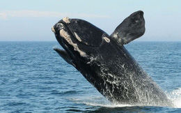 Lần đầu tiên trong lịch sử, chúng ta thu được tiếng hát của loài cá voi đen hiếm bậc nhất thế giới
