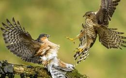Thế giới động vật: Chim cắt hỏa mai chiến đấu kịch liệt để tranh chỗ đứng