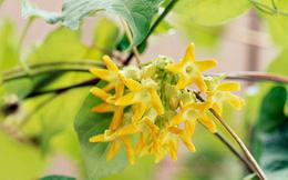 Ăn hoa thiên lý vào mùa nắng nóng sẽ chữa được vô số bệnh thường gặp