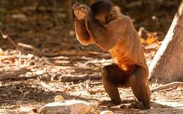 Bạn tưởng chỉ loài người biết tiến hóa? Có nhiều loài khỉ đã bước vào thời kỳ đồ đá từ 3000 năm trước rồi đó