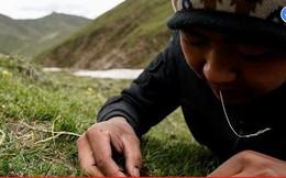 Cận cảnh cuộc săn lùng đông trùng hạ thảo giữa cơn sốt 'lên núi đãi vàng'