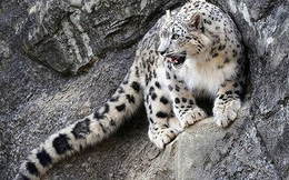 Màn săn mồi trên vách đá cheo leo của báo tuyết