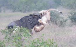VIDEO: Bất cẩn khi săn mồi, sư tử bị linh dương húc thủng bụng
