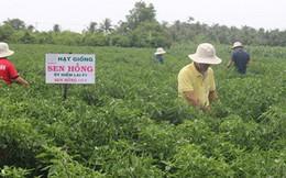 """Nông dân thu nhập """"khủng"""" từ mô hình trồng cây ớt dưới chân ruộng"""