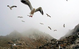 Mỹ cân nhắc rửa quần đảo Farallon bằng 1,5 tấn thuốc chuột