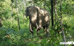 Ảnh: Khám phá một ngày làm việc của những 'bảo mẫu' voi rừng Tây Nguyên