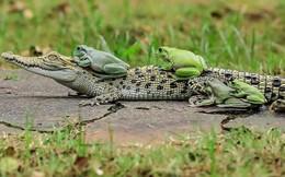 Khi những chú ếch lấy lưng cá sấu làm nơi... xếp hàng