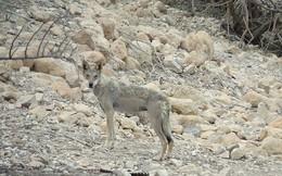 'Khiếp vía' với màn rượt đuổi trên vách đá dựng đứng của chó sói và dê núi