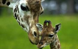 Loài động vật cao nhất thế giới và những sự thật thú vị