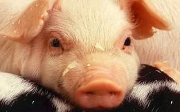 """Giáo sư hỏi: """"Con bò, con cừu và con lợn cùng bị bắt, chỉ có lợn chống cự điên cuồng, vì sao?"""", lời đáp khiến sinh viên thông minh nhất cũng giật mình!"""