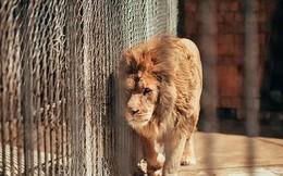 Video: Thoát chết gang tấc dù bị sư tử tấn công bất ngờ