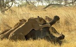 Bầy sư tử thể hiện sức mạnh, hạ sát voi rừng trong chớp mắt