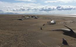 50 xác cá voi chết dạt vào bờ biển một cách bí ẩn khiến các nhà khoa học đau đầu tìm nguyên nhân