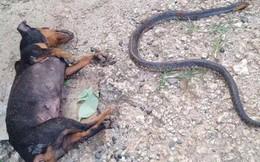 Video: Chú chó hi sinh thân mình, giết chết rắn độc bảo vệ cô chủ nhỏ khiến nhiều người cảm động