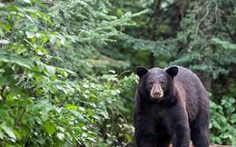 Báo đốm vất vả săn mồi, nhưng bị gấu đen thừa cơ cướp mất lúc sơ ý