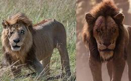 """Phát hiện phiên bản """"xịn"""" của Scar (Vua sư tử) ngoài đời: Vẻ ngoài sắc lạnh đúng với """"trùm cuối"""" phản diện, bên trong ấm áp đến không ngờ"""
