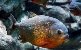 Cận cảnh màn xâu xé con mồi của cá Piranha bụng đỏ