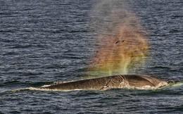 Ấn tượng khoảnh khắc cá voi 'phun ra' cầu vồng