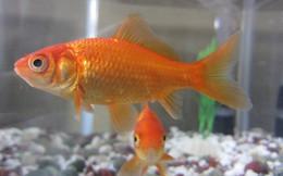 """Gọi là """"não cá vàng"""", nhưng thực sự thì loài cá này nhớ được đến đâu?"""