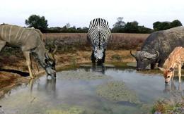 Uống nước nơi ao, hồ bẩn mà không ốm: tạo hóa đã làm gì để động vật hoang dã có khả năng này?