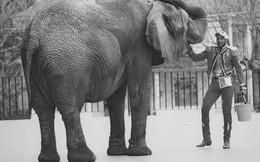 Tyke chú voi nổi loạn: Từ 20 năm bị bức ép đến lần gây tai họa cuối cùng và cái chết bi thảm làm rúng động ngành xiếc thú