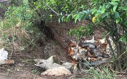 Ớn lạnh hình ảnh lợn chết vì dịch tả vứt la liệt trong rừng tràm ở Sài Gòn