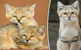 """Mèo cát Ả Rập - loài mèo """"tàng hình"""" lần đầu tiên xuất hiện trước ống kính máy ảnh sau 10 năm vắng bóng"""