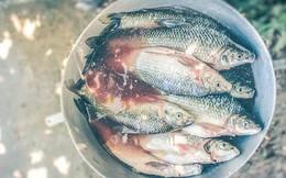 """Hóa chất biến cá ở Malaysia thành """"đồng tính"""""""