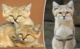 Mèo cát Ả Rập - loài mèo 'tàng hình' lần đầu tiên xuất hiện trước ống kính máy ảnh sau 10 năm vắng bóng