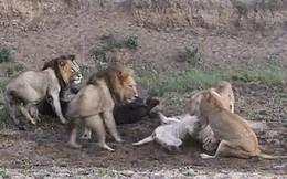 """Đàn sư tử """"cãi nhau chí chóe"""" giành con mồi, trâu nước thừa cơ lủi mất"""