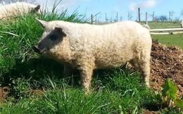 Cận cảnh lợn lông xù quý hiếm nhất thế giới