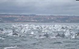 Kinh ngạc cảnh 1000 cá heo khổng lồ điên cuồng chạy trốn cá voi sát thủ
