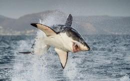 Toàn bộ cá mập trắng khổng lồ tại vùng biển này đột nhiên biến mất không dấu vết mà khoa học chịu không tìm được lý do