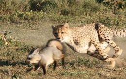 Một mình cáo chống lại hai con báo cheetah