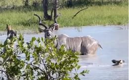 Linh dương kudu một mình chống lại bầy chó hoang