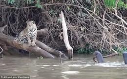 Bất ngờ với loài vật được mệnh danh là 'báo nước' khiến báo đốm bỏ chạy khi gặp