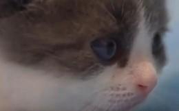Trung Quốc cho ra đời chú mèo nhân bản đầu tiên