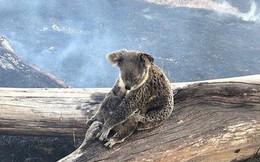 Khoảnh khắc xúc động khi gấu koala mẹ không màng đau đớn, cố bảo vệ đứa con nhỏ khỏi đám cháy xung quanh