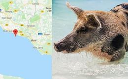 Hòn đảo đột nhiên bị cả một đội quân lợn rừng xâm chiếm, nhưng nguồn gốc của số lợn mới là thứ khiến nhiều người kinh ngạc