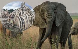 Bất ngờ với xu hướng tiến hóa mất ngà của loài voi trước nạn săn trộm